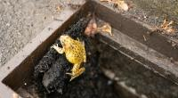 'Frog ladders' help critters escape death-trap drains