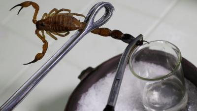 Worth the sting: Cuba's scorpion pain remedy
