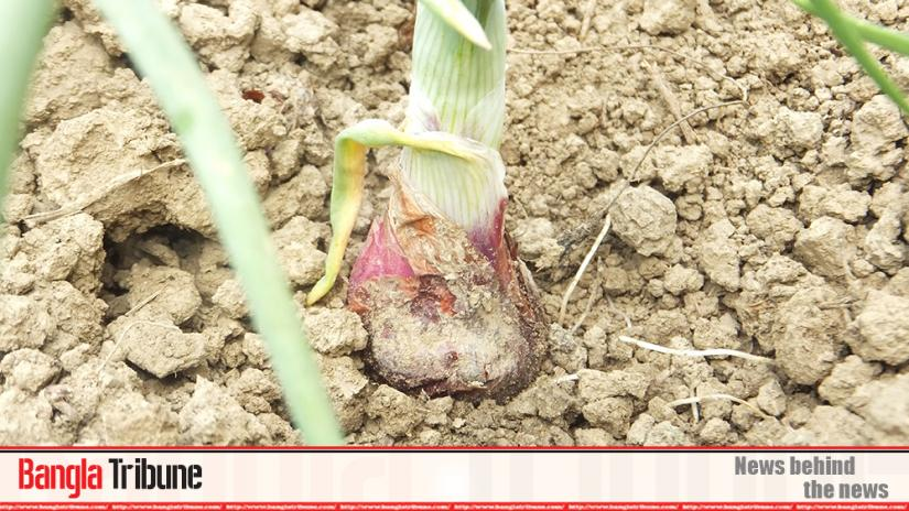 Locally grown onions are expected to hit the market soon with farmers eyeing fair prices given the skyrocketing price of the kitchen staple.